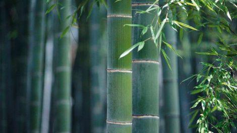20091118_Moso-bamboo-WEB-2000x1500.jpg