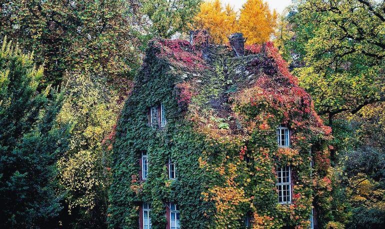 Verwaltungsgebäude_des_Botanischen_Gartens,_umrankt_von_der_(in_Asien_heimischen)_Dreispitzigen_Jungfernrebe_im_Herbstkleid.__Foto:_Franz_Möller